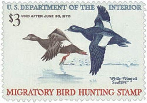 White-Winged Scoters